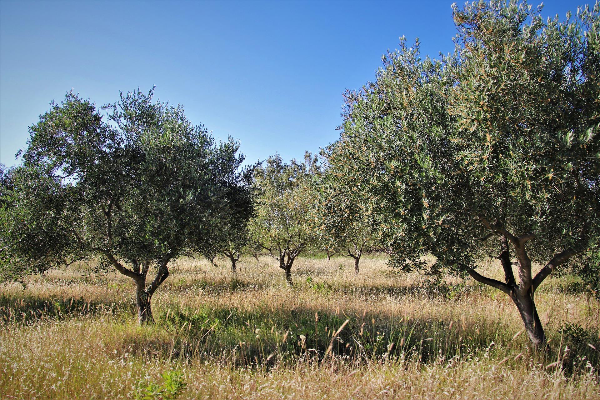 ulivi - olio extravergine